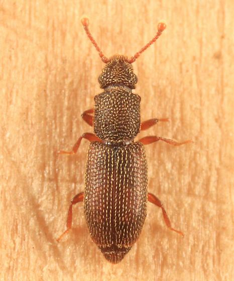 Root-eating Beetle - Monotoma bicolor