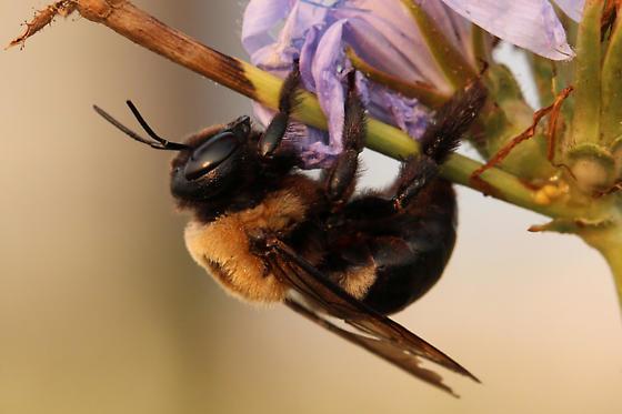 Eastern Carpenter Bee (Xylocopa virginica) - Xylocopa virginica - female