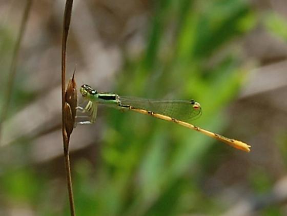 Tiny Zygopteran - Ischnura hastata - male
