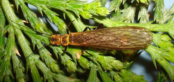 Paraperla frontalis (Banks) - Paraperla frontalis - female
