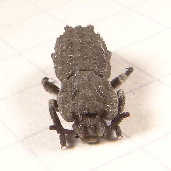 Beetle - Sesaspis emarginata