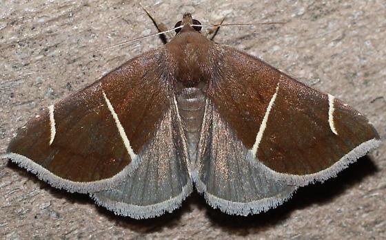Erebidae - Argyrostrotis anilis