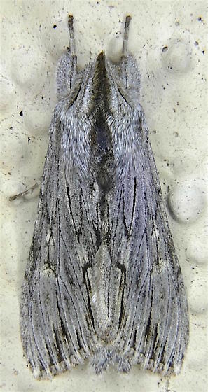 Streaked Hooded Owlet Moth - Cucullia strigata