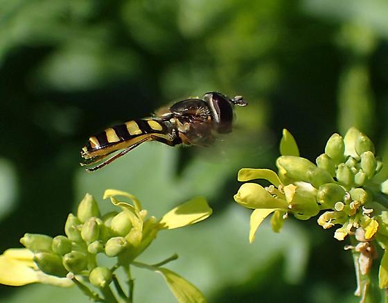 Syrphidae sp. - Eupeodes