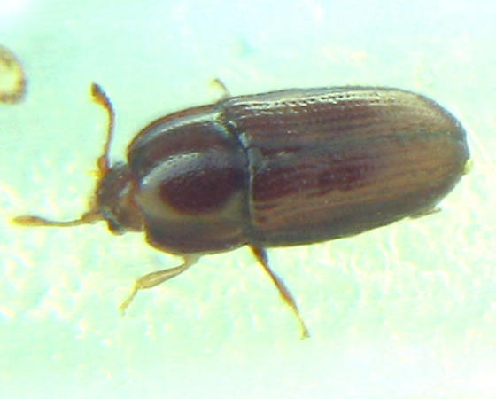 2.1mm unknown family - Philothermus glabriculus