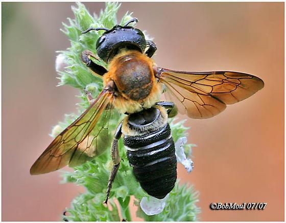 Giant Resin Bee - Megachile sculpturalis - female