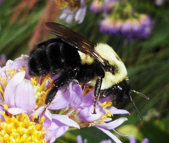Two-spotted Bumble Bee - Bombus impatiens