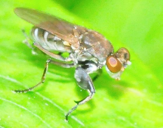 Ochthera mantis complex - Ochthera