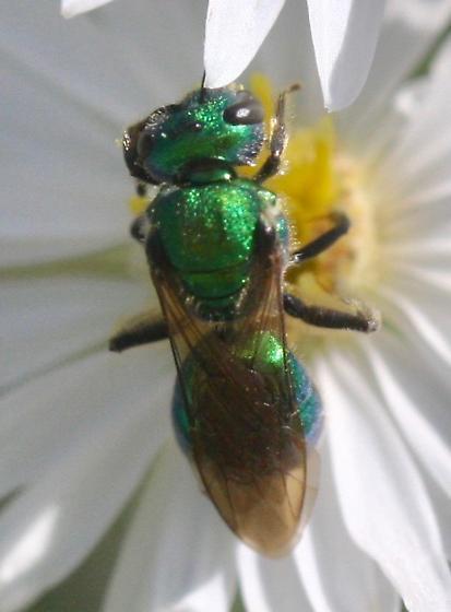 metallic green halictid - Augochlora pura