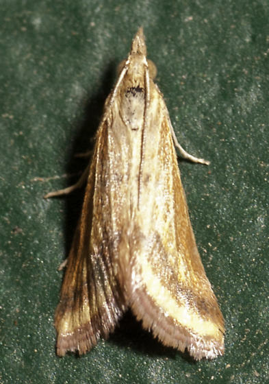 There were also several moths still hanging around - Microtheoris ophionalis