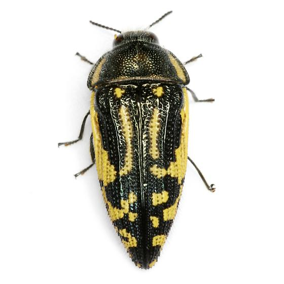 Acmaeodera amplicollis LeConte - Acmaeodera amplicollis