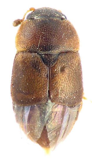 Carpophilus sp. - Colopterus truncatus