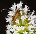 Adela thorpella - Adela flammeusella - female
