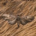Eupithecia classicata 7598? - Eupithecia classicata