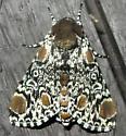 Moth - Harrisimemna trisignata