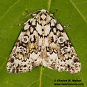 Cryphia sp.? - Cryphia pallidioides