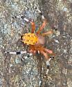 large spider seen in wooded area - Araneus marmoreus