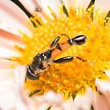 Syritta flaviventris - male