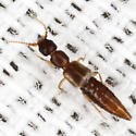 Rove Beetle - Thinocharis