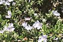 Triepeolus concavus? - Anthidium manicatum