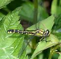 Spine-crowned Clubtail - Hylogomphus abbreviatus - female