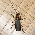 Two-lined Leatherwing Beetle - Atalantycha bilineata