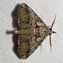 Paectes ambrostolelia, Hodges #8959.1 ? - Paectes