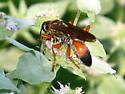 Digger wasp in PA? - Sphex ichneumoneus