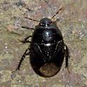 Pangaeus bilineatus