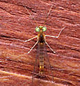 Stenacron interpunctatum - male