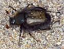 Lichnanthe from Pt Reyes - Lichnanthe - male