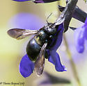 bee - Xylocopa micans