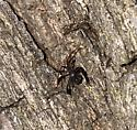 Unknown Black Insect  - Acanthocephala