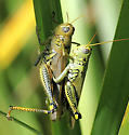Differential Grasshopper - Melanoplus differentialis - male - female