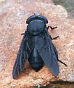 Is this a black horse fly? - Tabanus atratus - female