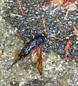 Hornet - Urocerus californicus
