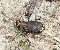 Eastern Red-bellied Tiger Beetle - Cicindelidia rufiventris