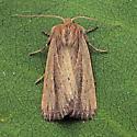 Brown-streaked Rustic - Hypocoena rufostrigata