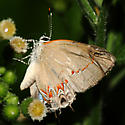Red-banded Hairstreaks - Calycopis cecrops - male - female