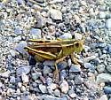 Melanoplus bivittatus 01 - Melanoplus bivittatus - female