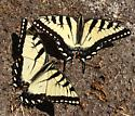 So... Eastern or Canadian? - Papilio canadensis - male