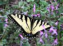 Yellow butterfly - Papilio glaucus - male