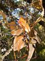 Golden Silk Orbweaver - Nephila clavipes - female