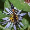 Ammophila nigricans vs protera - Ammophila
