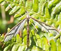 Crane Fly Striped Wing - Pedicia - female