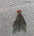 Big headed fly    - Chrysopilus quadratus