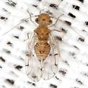 Outer Barklouse - Ectopsocus meridionalis