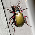 Fiery Searcher Beetle - Calosoma scrutator