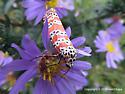 Moth - Utetheisa ornatrix