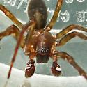 Spider - Amaurobius ferox - male